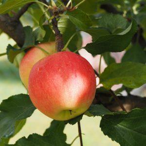Marjapensaat ja hedelmäpuut